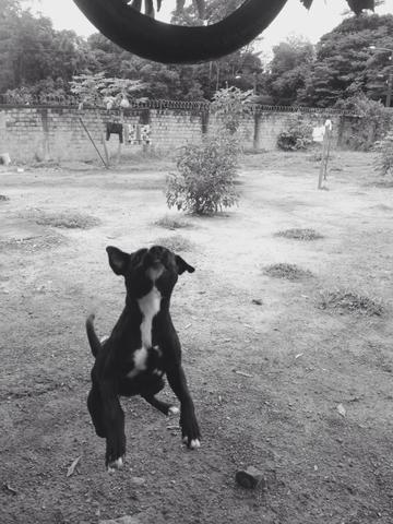 Procurando Para Minha Cachorrinha Boxer Belém-3529