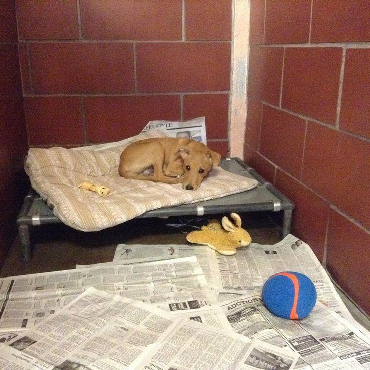 Uncios Bull Terrier Rockford-7589