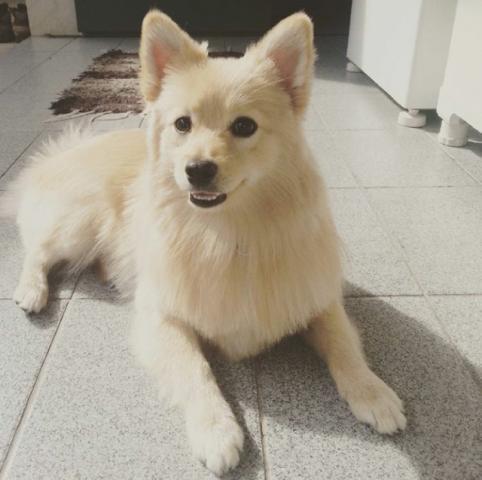 Procurando Para Minha Cachorrinha Pastor Alemão Guarulhos-3091