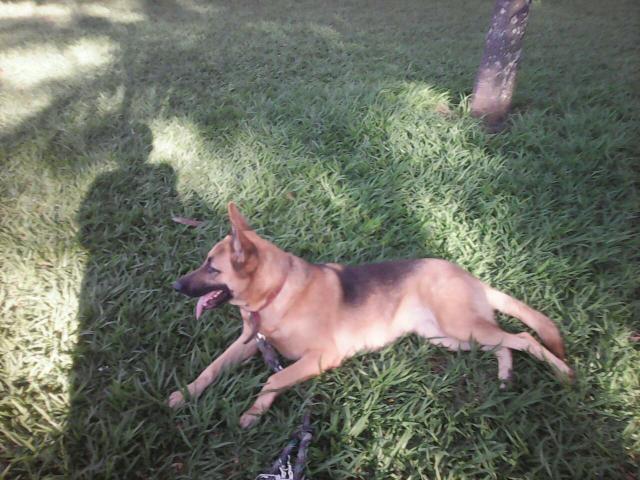 Procurando Para Minha Cachorrinha Pastor Alemão Guarulhos-6029