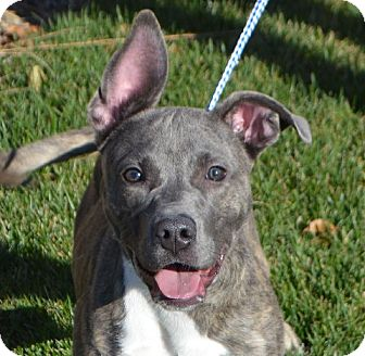 Uncios Bull Terrier Rockford-6540