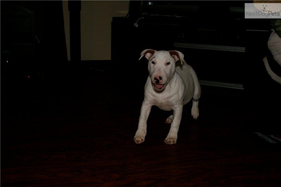 Uncios Bull Terrier Rockford-4218